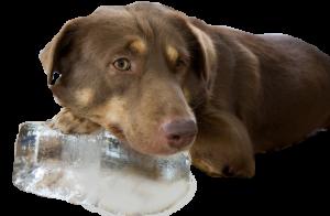 dog_ice
